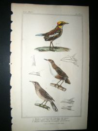Cuvier C1835 Antique Hand Col Bird Print. Ant catcher, Common Water Thrush, African Thrush, 17
